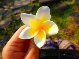 Fleur national : le frangipanier : National flower