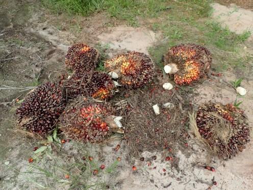 Fruits du palmier à huile | Oil palm tree fruit