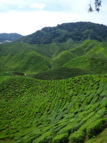 Cameron highlands : plantations de thé | Tea plantations