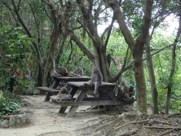 Singes de Kaohsiung | Monkeys of Kaoshiung