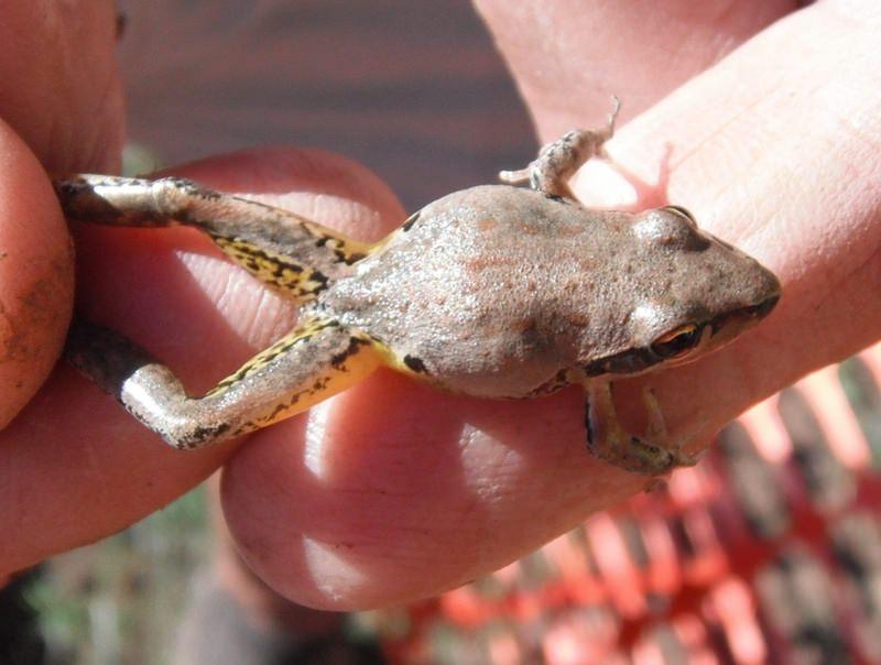 Broad Palmed Frog