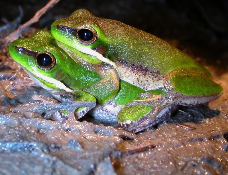 Dwarf Tree Frogs
