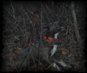 Puppies For Sale Missouri Ozarks Original Mountain Curs