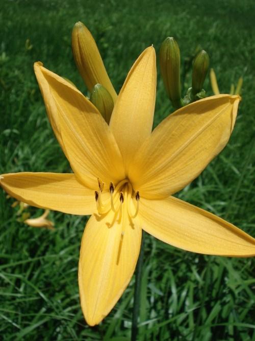 Nikko-kisuge-flower