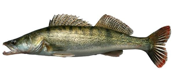 Названия рыб речных: Список речной рыбы, названия с фото ...