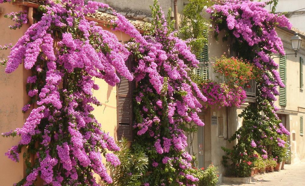 bougainvillea Chieti Italy
