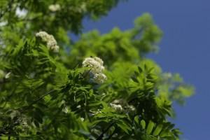 Yabani Otlar ve Çiçekler. Doğu Karadeniz Bölgesinde yetişen yabani otlar, yabani çiçekler isim ve özellikleri