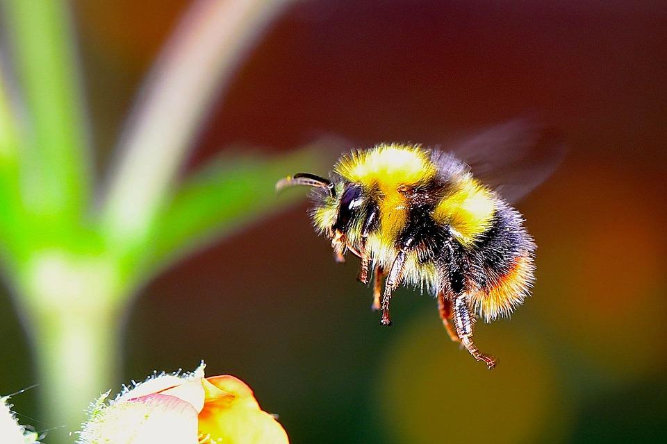 Bumblebee Image