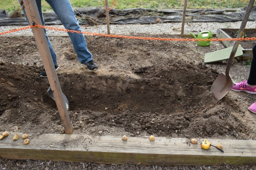 trench potatoes were planted in