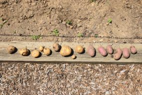 Harvested Fresh Potatoes