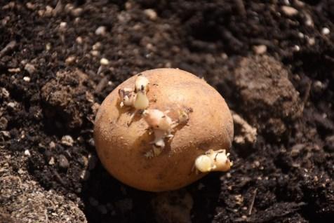 potato with growing eyes