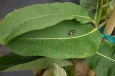 flies on milkweed