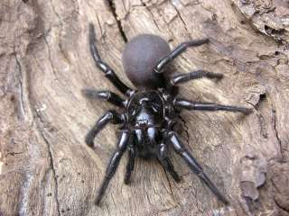 spiders_au_sydney_funnel_web