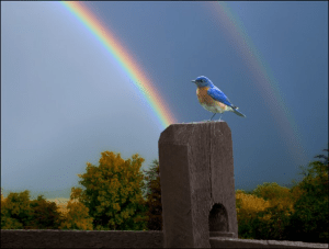 Bluebird and rainbow