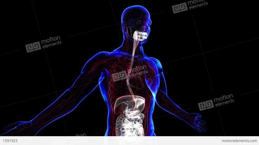 Digestive System Stock Animation | 1591923