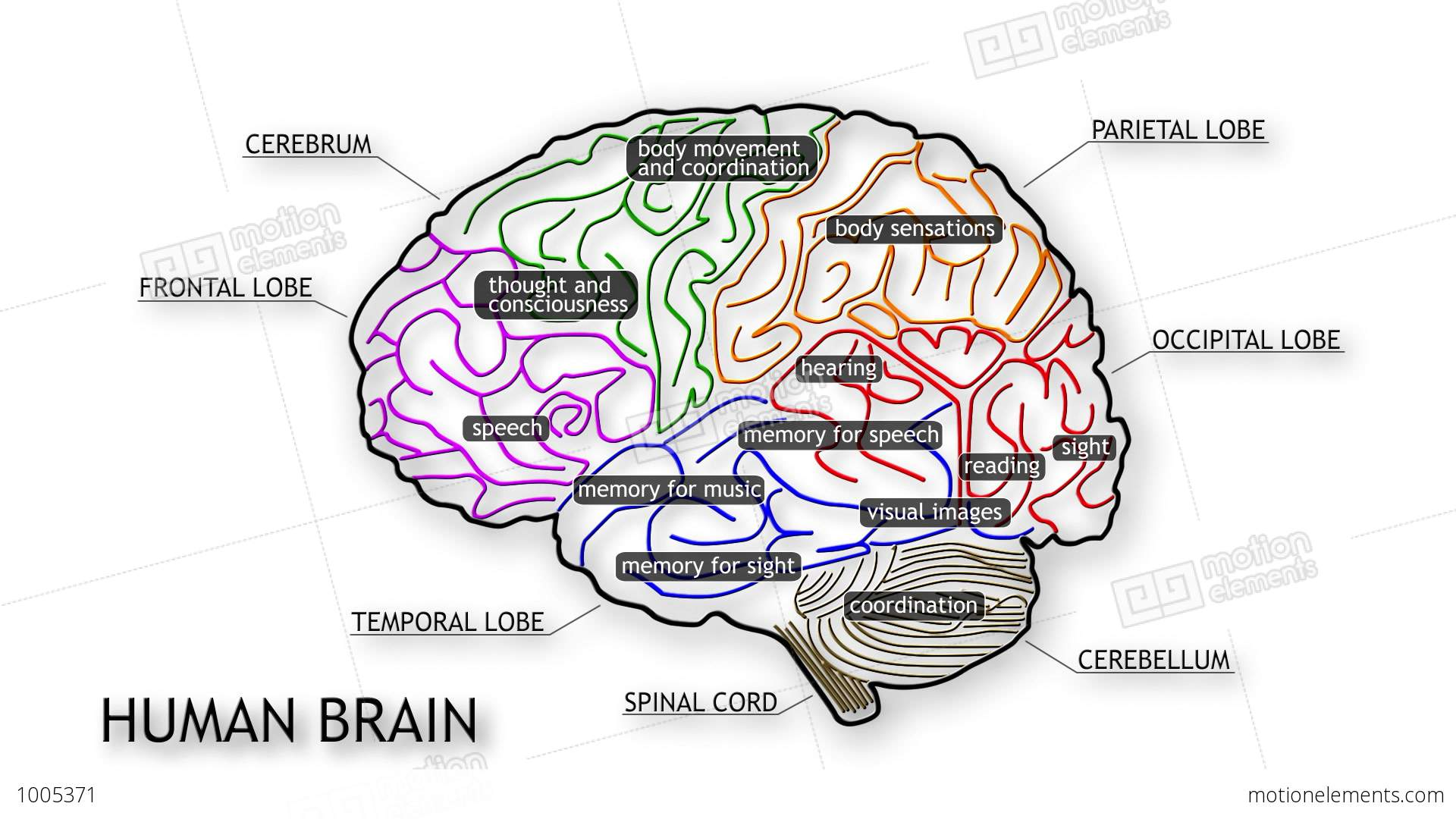 Human Brain 09 Stock Animation