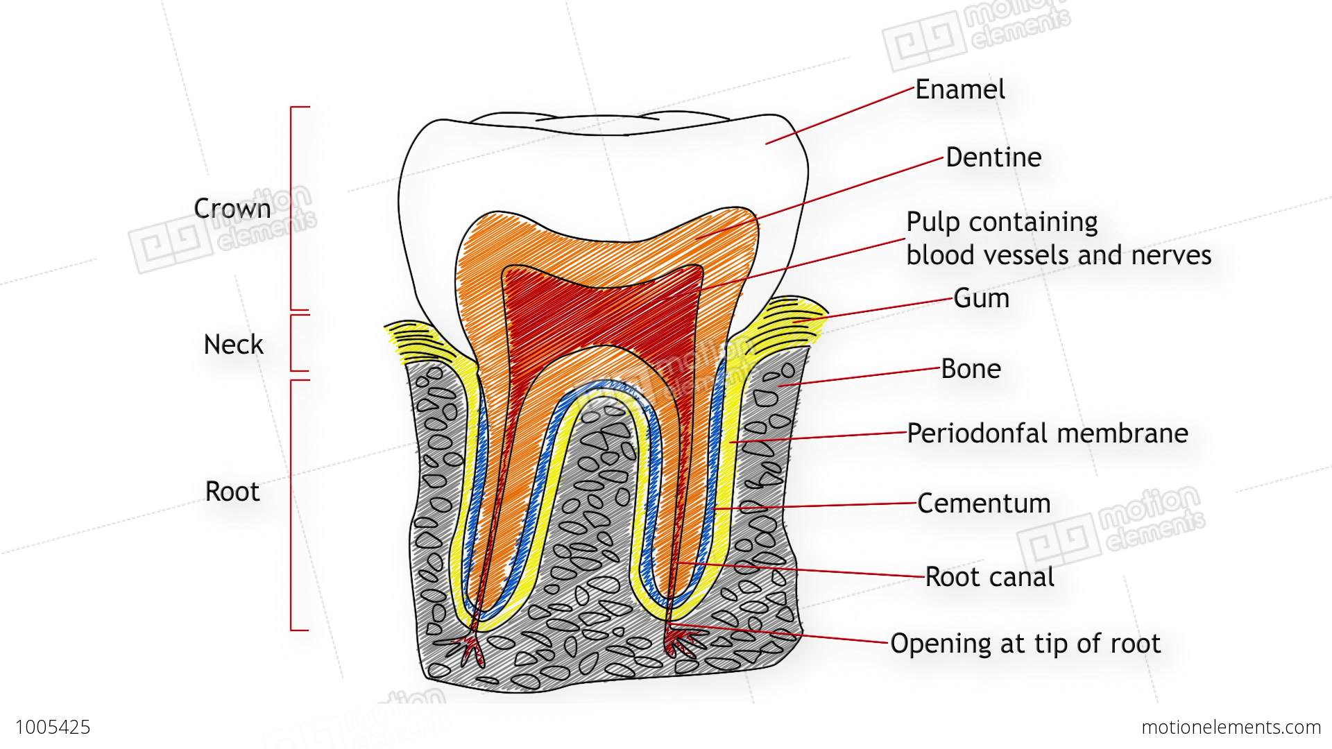 Human Tooth Structure 02 Stock Animation
