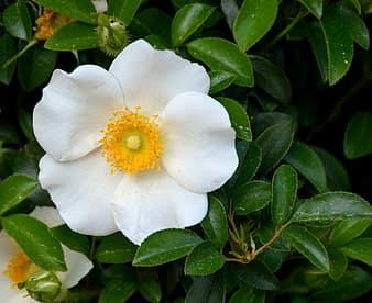 Cherokee Rose Rose White Beauty Nature State Flower Georgia Tribal American Ornament Flower Garden Pikist