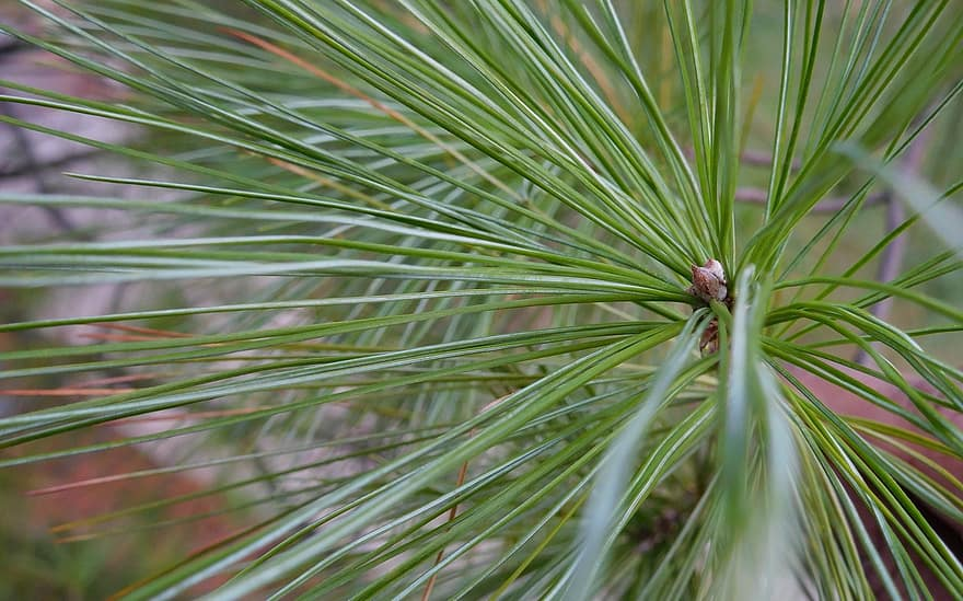 Inadequate light according to bonsai primer, common causes of falling bonsai leaves include natural l. Pine Tree Needle Leaves Pine Tree Leaf Coniferous Flora Outdoor Season Forest Green Pikist