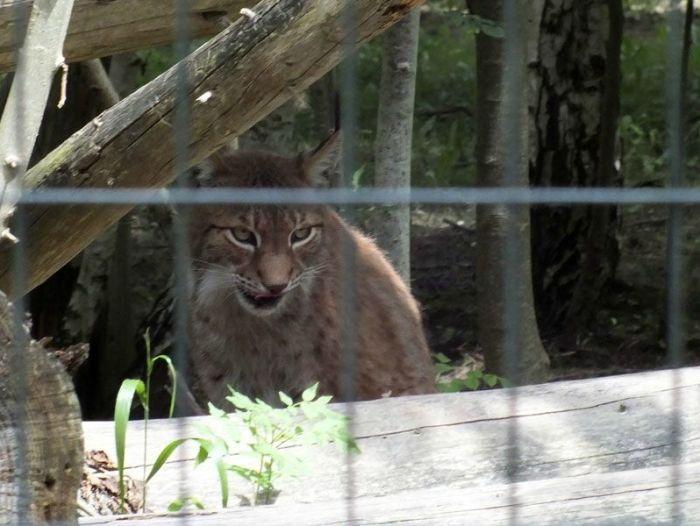 parc-des-felins-nesle-seine-et-marne-lion-blanc-jaguar-guepard-tigre-lorike-bebe-lynx-lapin-elevage-reproduction (24)