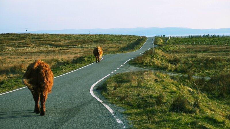 De paisibles vaches, sur la route
