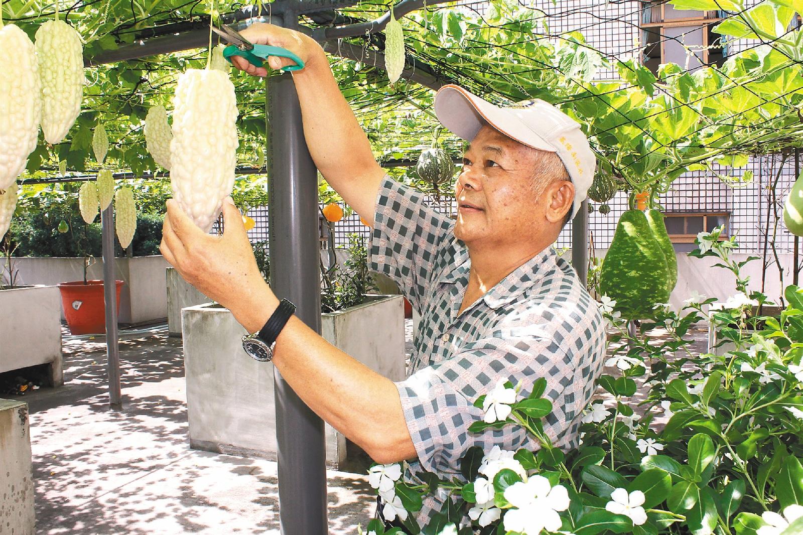 頂樓種菜降室溫 蔬果吃不完   好房網News