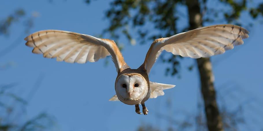 white, beige, owl, flying, daytime, barn owl, bird, nature, wildlife, prey