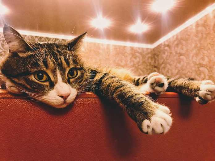 gato, gatos, gato doméstico, mascotas, felino, doméstico, mamífero ...