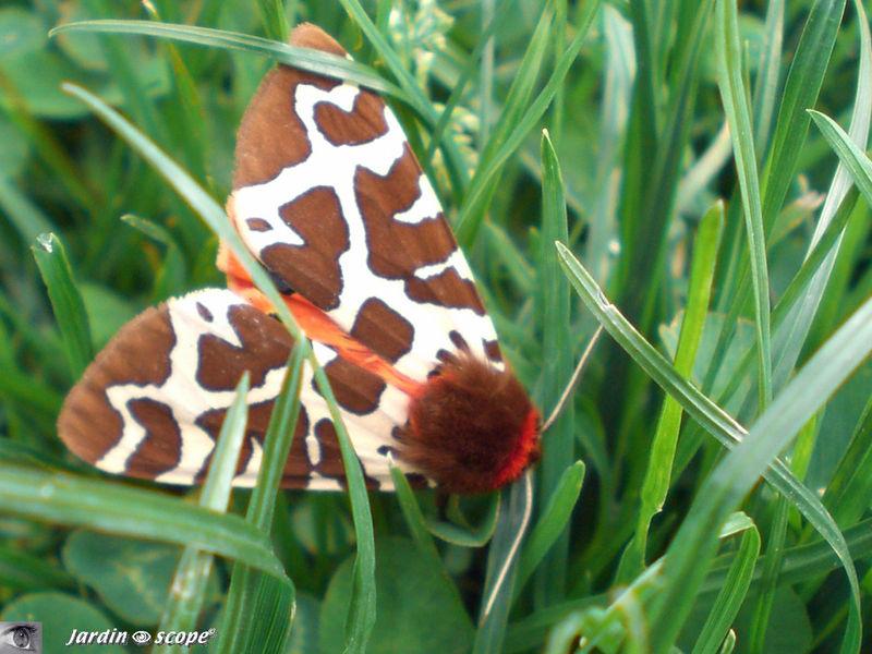 un papillon de nuit a l eclatante tenue