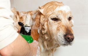 shampoo hond