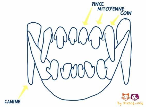 Dentition du chien