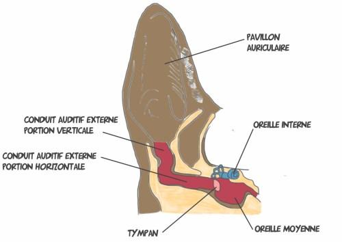 Anatomie oreille de cien
