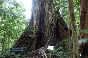 Mossman Gorge Fig Tree