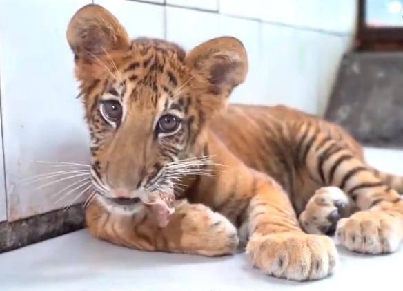 世界唯一虎獅虎獸滿百天,老虎和獅子如何孕育了這個后代_雜交