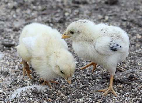 how to raise leghorn chickens