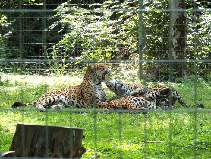 parc-des-felins-nesle-seine-et-marne-lion-blanc-jaguar-guepard-tigre-lorike-bebe-lynx-lapin-elevage-reproduction (9)