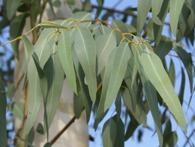 eucalyptus2