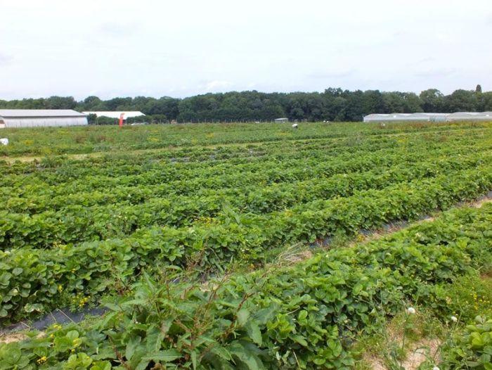 cueillette-fer-de-viltain-roses-oeillets-des-poetes-fraises-oignons-jaunes-groseilles-lys-courgettes-jus-de-pomme-verger (1)