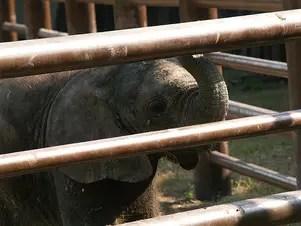 Pequeño elefante se ha convertido en la principal atracción del Parque Zoológico La Pastora en Nuevo León Foto: Tomada de Fotolog