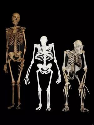 Esta imagen sin fechar suministrada por Lee R. Berger y la Universidad de Witwatersrand muestra la reconstrucción del esqueleto del Australopithecus sediba, centro, junto al de una mujer moderna pequeña, izquierda, y al de un chimpancé macho. Foto: Universidad de Witwatersrand, Lee R. Berger / AP