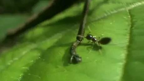 Por maior que seja, o 'invasor' tem um calcanhar de Aquiles... e as formigas sabem disso