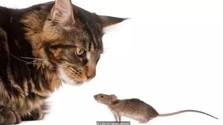 Gatos comem um rato inteiro por vez, sem possibilidade de dividir