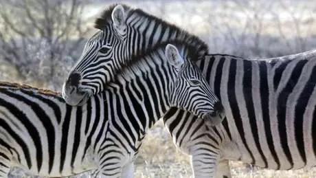 Zebras têm focinhos pretos e orelhas menores do que burros