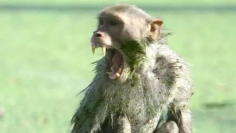 Os macacos enfrentam fortes pressões ambientais na Índia