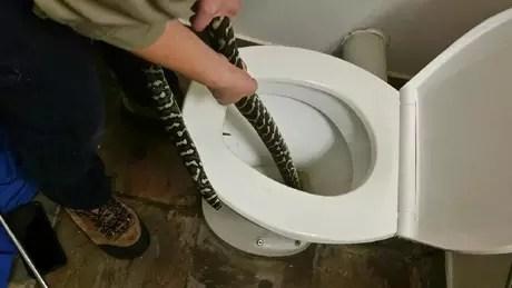 Uma tratadora profissional de cobras foi chamada para retirar a píton-carpete de 1,5 metros do vaso