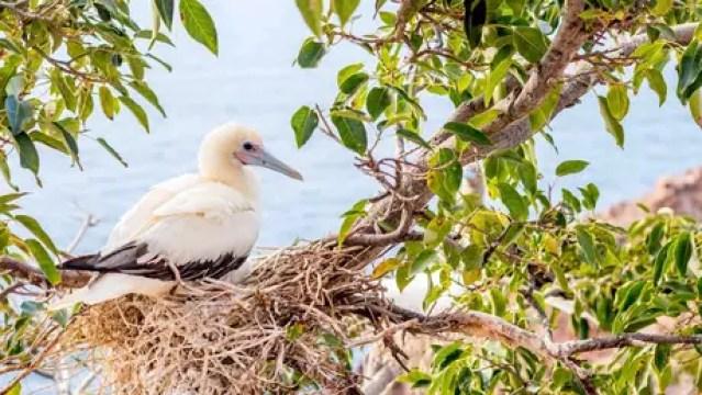 Este atobá-de-patas-vermelhas foi avistado pela equipe que retornou à ilha