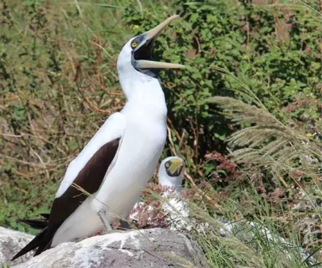 O atobá-grande é uma das aves avistadas em Redonda