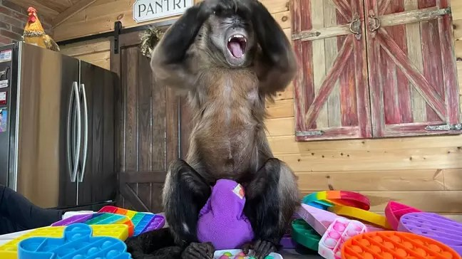 Videos of little monkey Gaitlyn Rae playing with pop-it went viral