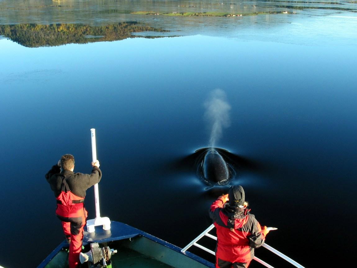 Keiko i Norge. Foto: Lars Olav Lillebø