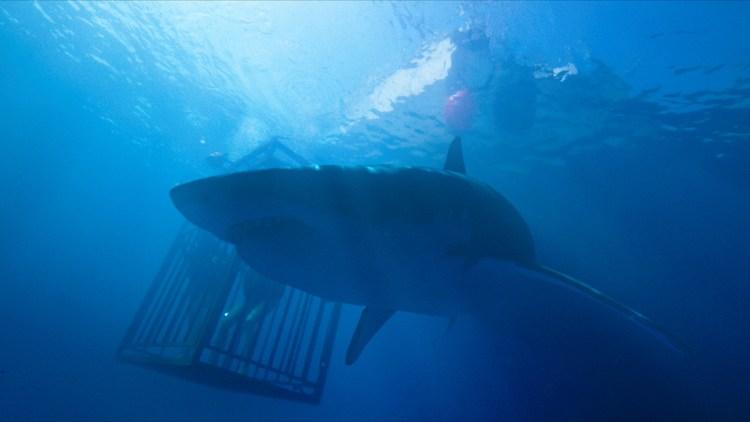 "En diger hai kretser rundt haiburet i ""47 Meters Down"". (Foto: Selmer Media)"